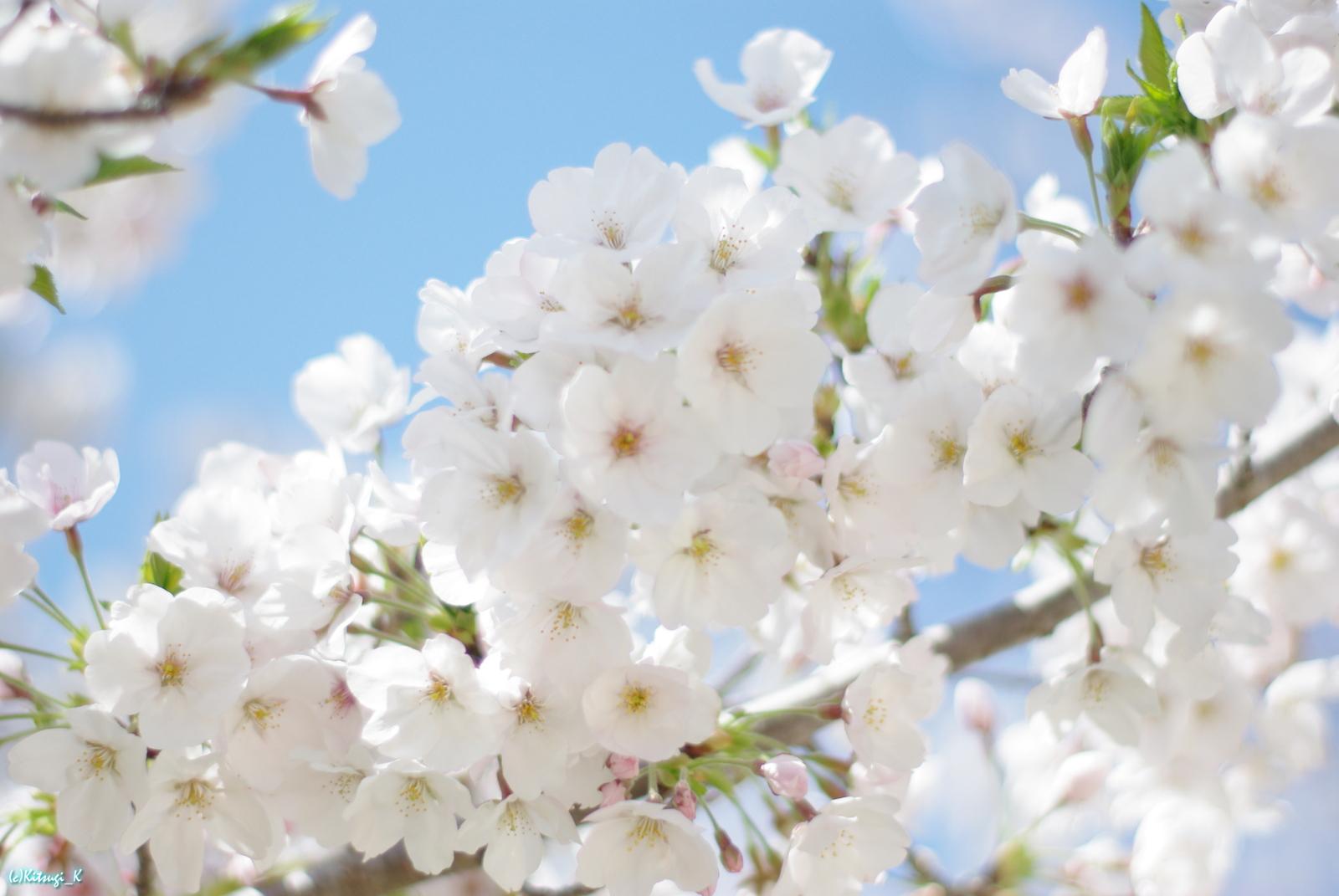 夙川公園の桜の画像の9枚目