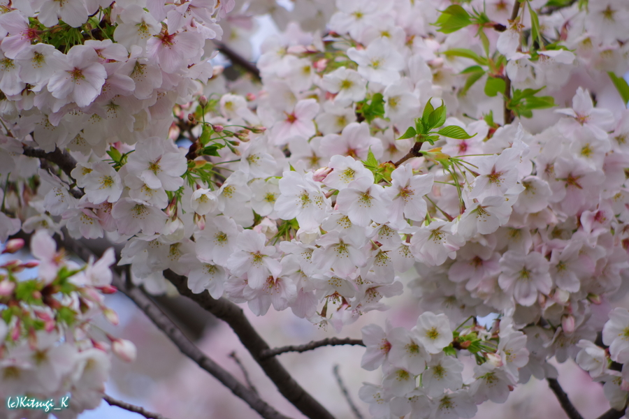 某病院前の桜の画像の13枚目